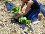 Executive Director Taja Sevelle at Gladstone and Linwood picking lettuce