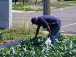 A citizen helping his self to some produce at Gladstone and Linwood